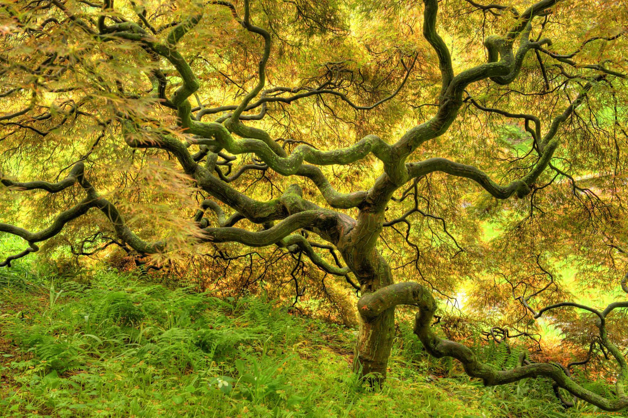 извилистое дерево фото челентано
